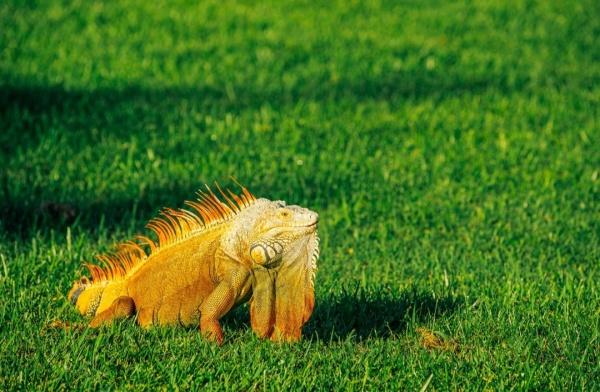 晒太阳的蜥蜴