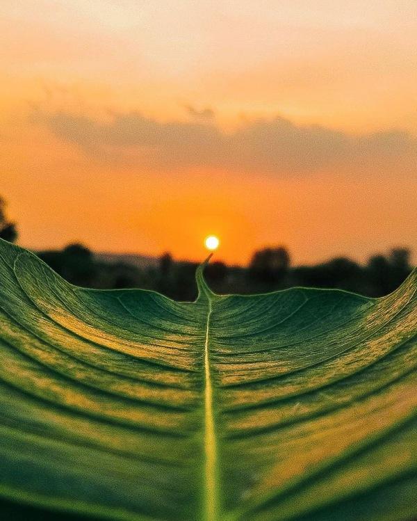 叶尖上的太阳