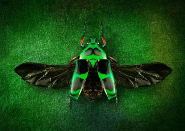 绿色花金龟